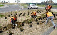 harcerze sadzili krzewy