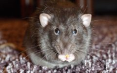 szczury Gliwice